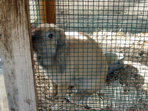 blue hill rabbit